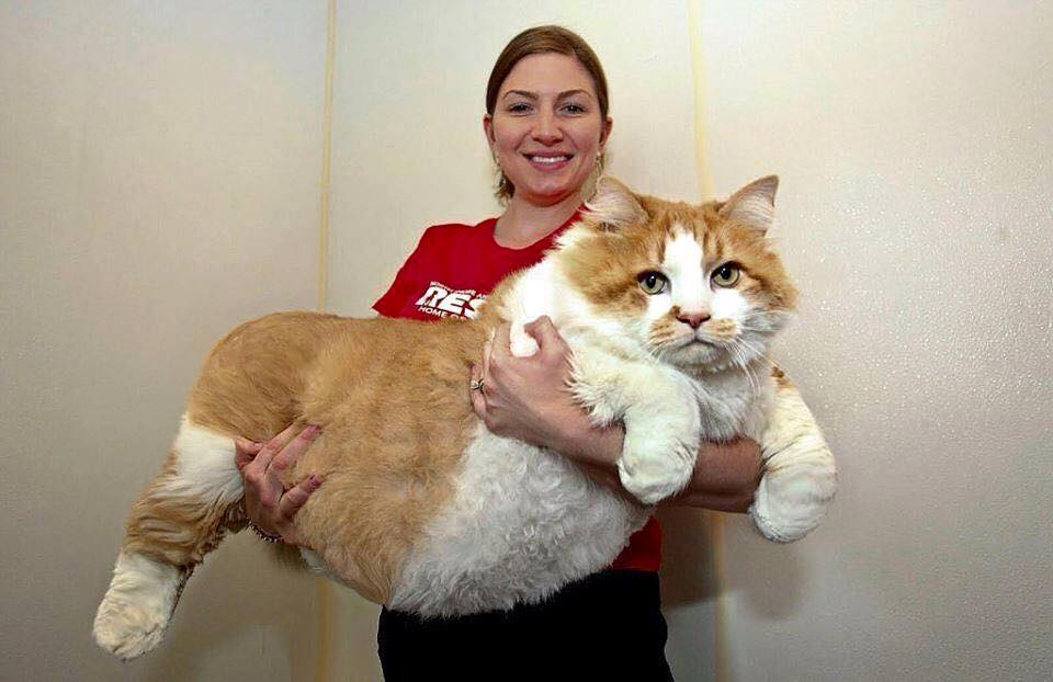 biggest cat in the world guinness 2016 biggest cat images reverse search - Smallest Cat In The World Guinness 2017