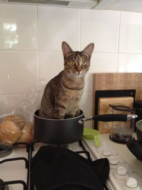 cat sitting in a pot on the stove