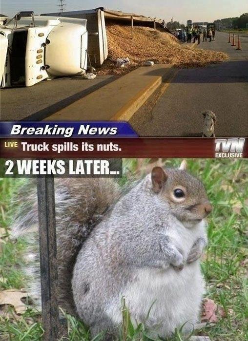 squirrel, nuts, truck, accident, meme, fat