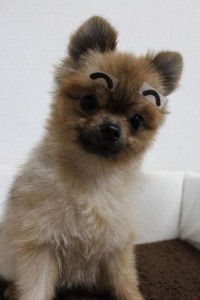 dog, tape, eyebrow