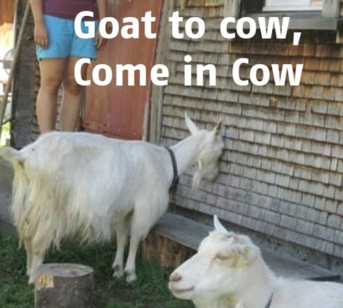 goat to cow, come in cow
