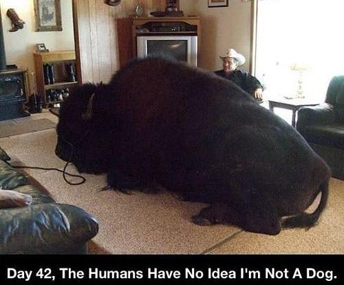 buffalo, meme