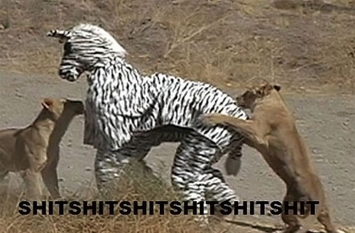 guys in zebra costume get attacked  by lions, meme