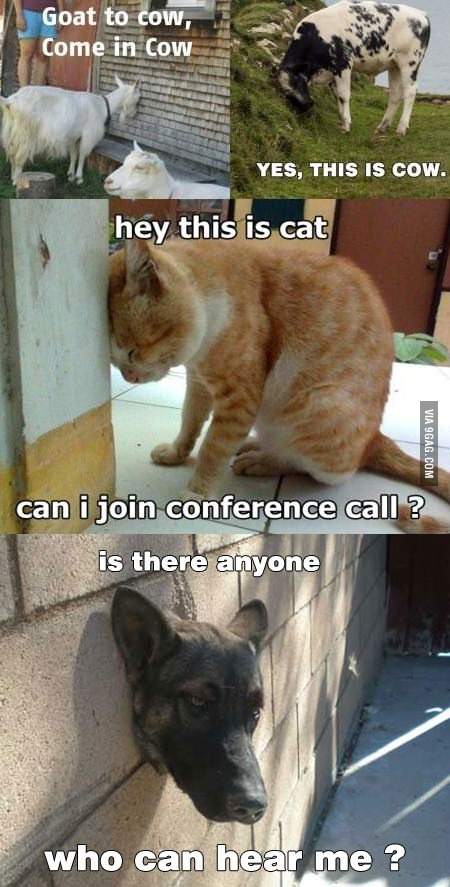 Hello, meme, Phone, conference call, animals, cat, cow, dog, goat