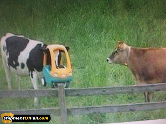 cow with head stuck in toddler's toy car
