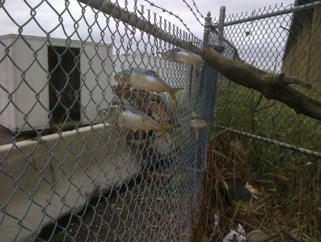 fish, fence, sandy, hurricane