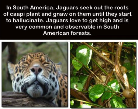 in south america jaguars seek out the roots of cap plant and gnaw on them until they start to hallucinate, jaguars love to get high and is very common and observable in south american forests