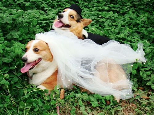 dog, wedding, marriage, dress
