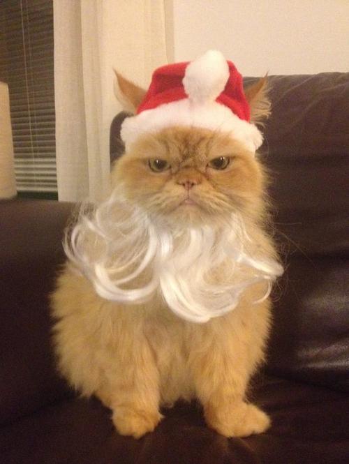 cat, beard, hat, christmas, santa