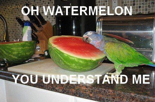 bird, watermelon, parrot, parakeet