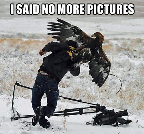 i said no more pictures, eagle attacking photographer, meme