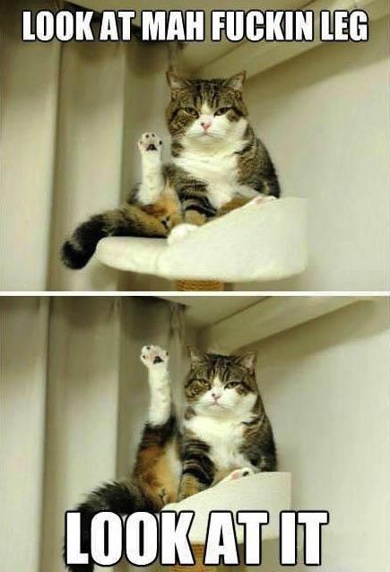 cat, leg, meme, look