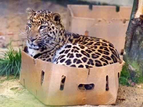 leopard, box, feline