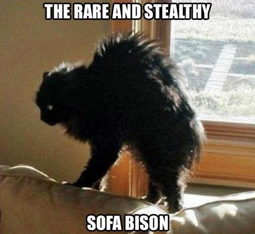 the rare and stealthy sofa bison, cat, meme