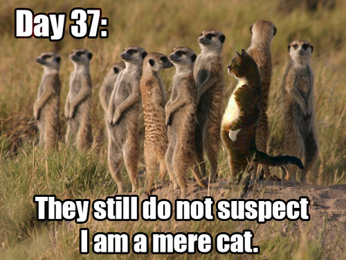 meme, meerkat, mere cat