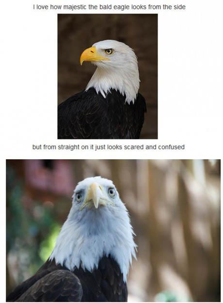 eagle, face, majestic, scared, confused