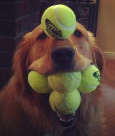 dog, tennis balls