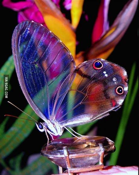 amber phantom butterfly, transparent