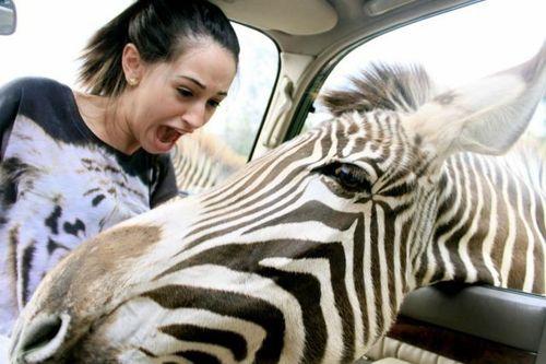 zebra, car, face, scared