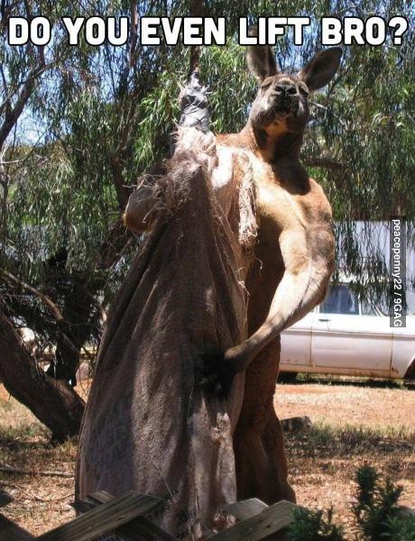 kangaroo, lift bro