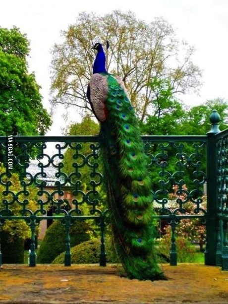peacock, tall, wtf, railing, perspective