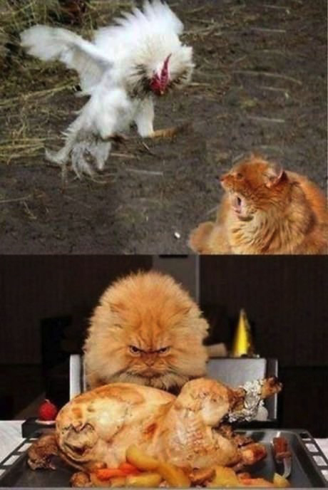 cock, rooster, cat, before after