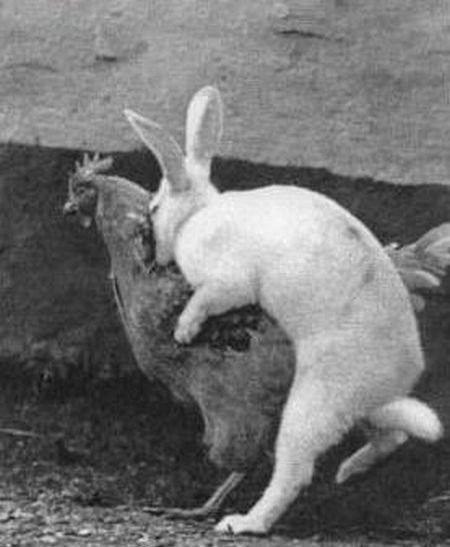 bunny, rabbit, chicken, cock, hump, fail