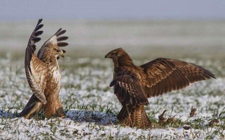 eagle, fight, meme