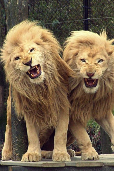 lion, brothers, growl