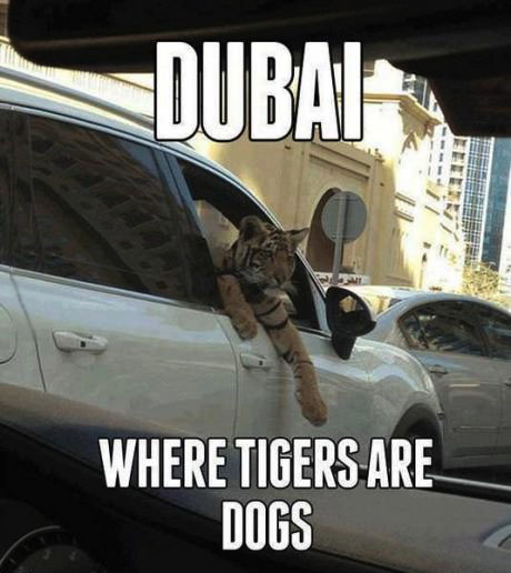 dubai, where tigers are dogs, car, meme