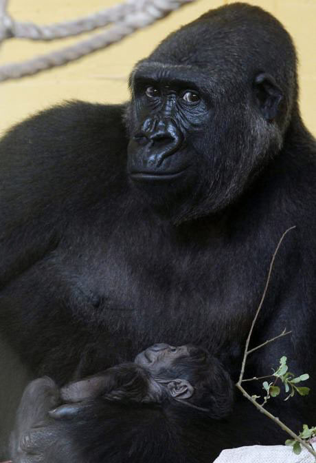 happy gorilla mother with newborn gorilla baby