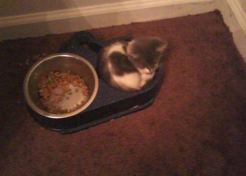food, cat, bowl