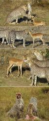 leopard, antelope, food, sequence