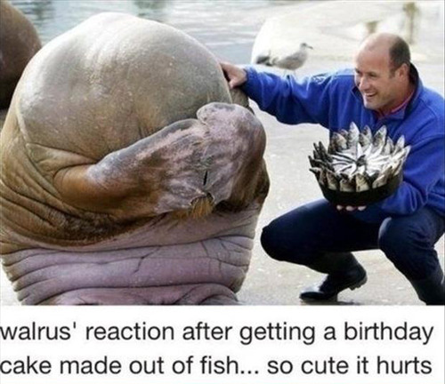 walrus reaction after getting a birthday cake made out of fish, so cute it hurts