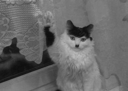 hitler cat sieg heiling himself