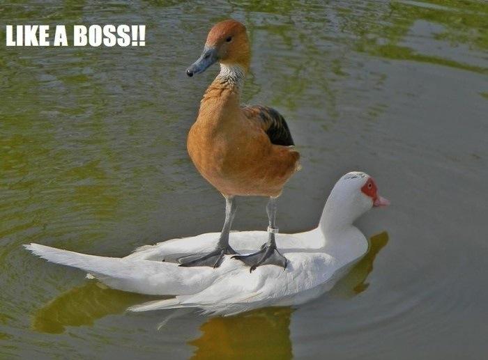 duck standing on a swan, like a boss