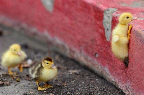 bird, chick, street, sidewalk