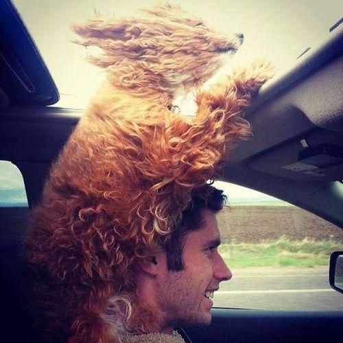 dog, sun roof, car, wind, head