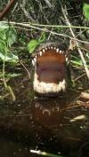 alligator, crocodile, mouth, teeth