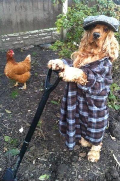 dog, poorly dressed, wtf, garden, chicken