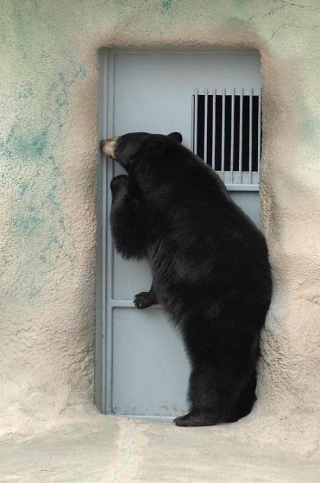 bear, door, knock