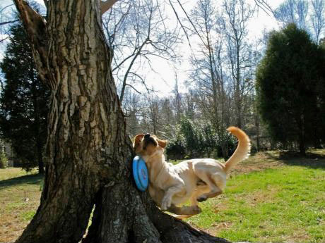 dog runs into tree trying to catch frisbee, fail, ouch, timing