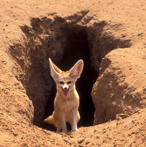 happy fox walking out of his hole