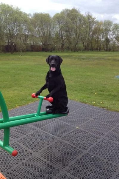 dog, teeter totter, park, wtf