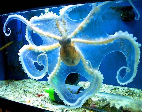 octopus, aquarium