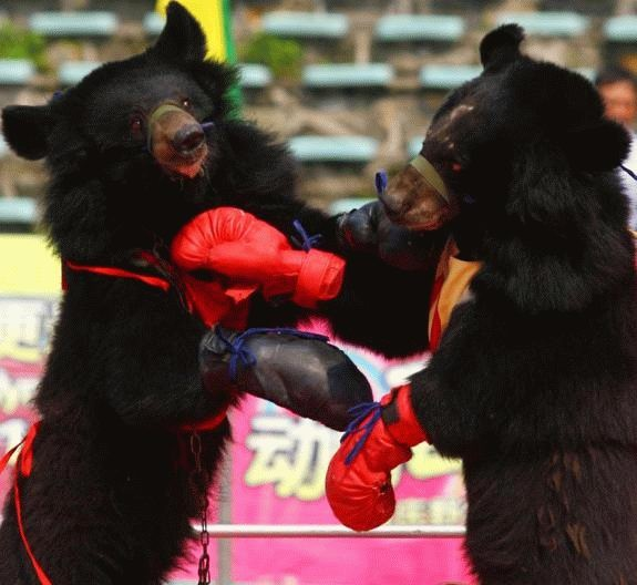 boxing, bears, gloves, wtf