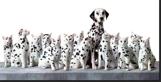 dalmation, cat, white, black spots