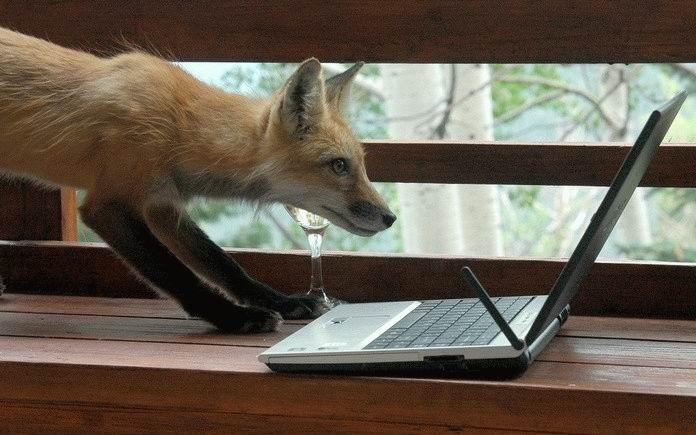 fox, laptop, wtf
