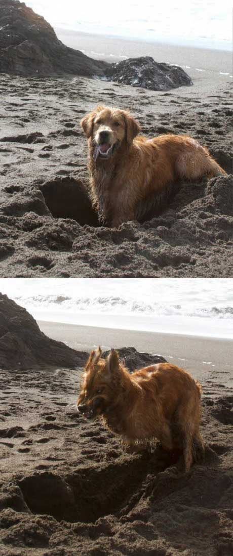 calm and cute dog gets really intense while digging, demonic sand digger dog