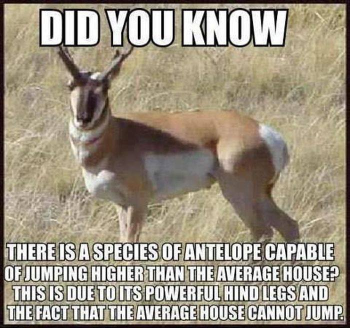 there is a species of antelope capable of jumping higher than the average house, this is due to its powerful hind legs and the fact that the average house cannot jump, did you know
